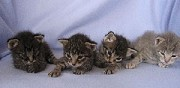 A r�server 5 chatons de race savannah villenave d'ornon