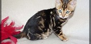 Vends chatons bengal loof muret