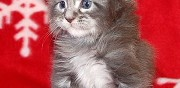 Chatons maine coon loof � vendre montlu�on