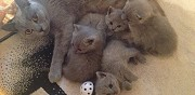 Donne chatons type chartreux cr�teil