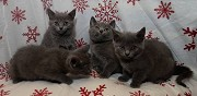 Chatons type chartreux sours