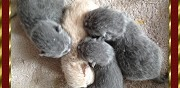 Chatons british shorthair � r�server meru