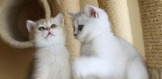 Chatons type british shorthair seal silver point  le po�t