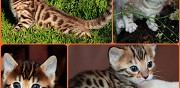 Super chatons bengal montlu�on