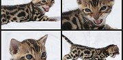 Vends magnifique chaton bengal brown loof superble robe marat