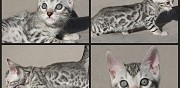 Chaton bengal silver loof disponible de suite marat