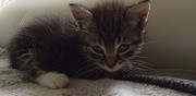 Donne chaton m�le  bordeaux