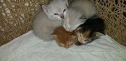 Donne chatons gimont