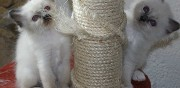 Vends chatons type sacr� de birmanie sainte reine