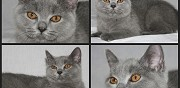 Vends chatons british shorthair loof pionsat