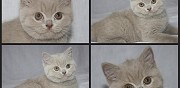 2 chatons british shorthair � r�server pionsat