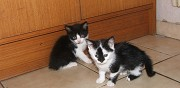 3 chatons � donner saint germain d'esteuil