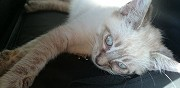 Chaton type ragdoll paris