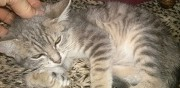 Mignon chaton tigr� disponible ermont