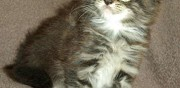 Chatons maine coon brown tabby et blanche � l'adoption mauressac