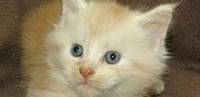 Chaton maine coon red silver shaded et blanc mauressac
