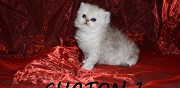 Vends chatons femelles type persan black silver shaded vienne