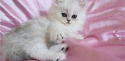 Bient�t disponible chaton persan m�le silver shaded loof toul