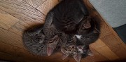 Petits chatons � adopter grenoble
