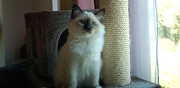 Chaton sacr� de birmanie loof m�le seal point ossages