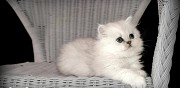 Adorables persan chinchilla loof en vente toulouse