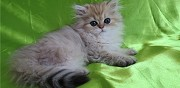 Adorables chatons persans golden shaded et shell toul