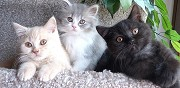 Magnifiques chatons british shorthair loof jarny