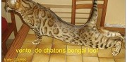 Vends chaton et jeune adulte bengal loof nersac