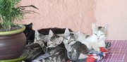 Donne adorables chatons type europ�en chauray