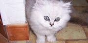 Vends chatons persan chinchilla saint sornin lavolps