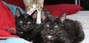Chatons � donner tullins