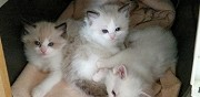 Adorables chatons ragdolls loof moulins