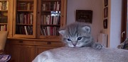 Chatons british shorthair à vendre paris