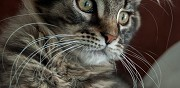 Vends chaton m�le brown mackerel tabby laruscade