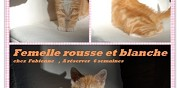 Jolie chatonne rousse de 6 semaines � adopter ermont