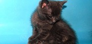 Chaton gris chartreux de 7 semaines � adopter ermont