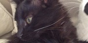 Chatte noire 5 mois � adopter lancon provence