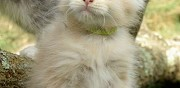 Chaton maine coon cr�me silver ou red silver shaded m�les en vente mauressac
