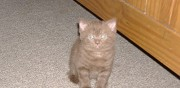 Chaton british shorthair à vendre besné