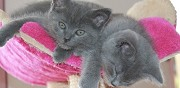A vendre chatons chartreux loof chemere