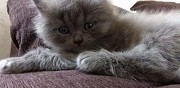 A r�server chatons british longhair et shorthair dreffeac