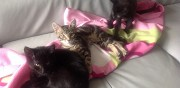 Chatons � donner contre bons soins saint just chaleyssin