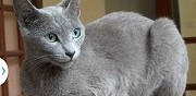 Cherche chat bleu russe dammartin en serve