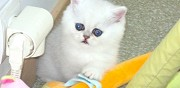 Chatons persans exotic shorthair chinchilla silver � r�server le soler