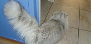 Vends chaton chinchilla m�le non lof bressuire