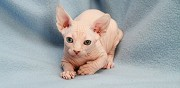 Adorables chatons sphynx loof disponibles � la r�servation la chapelle la reine