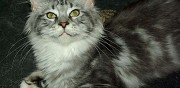 Vends chaton maine coon black silver blotched tabby et blanche mauressac