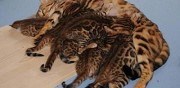 5 chatons bengal � rosettes ou marbr�s � adopter metz