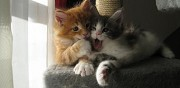 Vends chatons maine coon nice