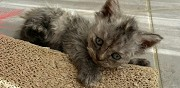 Vends chaton femelle selkirk loof chaponnay